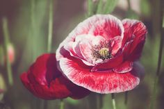 Poppies. Poppies 1 by Jo Williams
