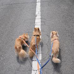 ずっと一緒がいいよね  #dekachiwa #chihuahua #dog #チワワ #ふわもこ部 #chihuahuaofinstagram