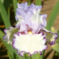 Petticoat Shuffle Tall Bearded Iris