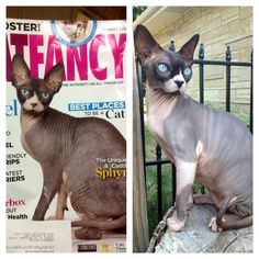 Looks like a super star to me! Prince Charming-Sphynx Cat