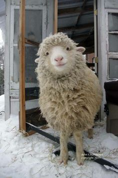 This is a cute sheep. A happy sheep. A fluffy sheep. A smiling sheep Farm Animals, Animals And Pets, Funny Animals, Cute Animals, Happy Animals, Animals Images, Nature Animals, Wild Animals, Cute Creatures