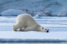 Polar bear rest byIvan Starastin