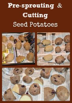 Describes how to sprout and cut certified seed potatoes in preparations for potato planting