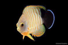 Eibli angelfish (dwarf) also known as the redstripe angelfish