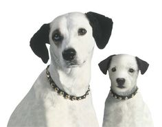 Meet Chipper: A younger companion for Nipper, he's represented the youthful #energy of #RCA since 1991. #puppylove