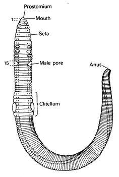 Anatomy of an Earthworm. Source: Earthworm anatomy in