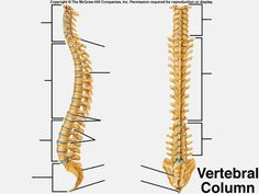 Vertebrae Anatomy Bones, Human Spine, Medical Anatomy, Anatomy And Physiology, Chiropractic, Our Body, Nervous System, Strength Training, Back Pain