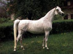 PIKIETA  (*Probat x Platyna, by Czardasz) 1982 grey mare bred by Michalow; imported to the US 1990; then to the UK 1994
