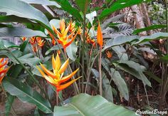 Heliconia papagaio - Heliconia psittacorum