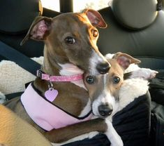 ~ Italian Greyhounds ❤ ~too cute!