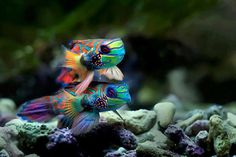 Rainbow fish are one of the beautiful fish in the sea Underwater Creatures, Underwater Life, Ocean Creatures, Poisson Mandarin, Mandarin Fish, Colorful Fish, Tropical Fish, List Of Animals, Cute Animals