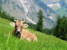 Allgäu Kuh
