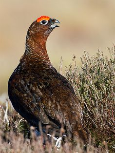 "Red Grouse, Scotland. ""Throaty exclamation signals a territorial male red grouse. It bursts into the air, stalls, then parachutes down, tail spread and wings whirring, before bowing, tail fanned and wings drooped."""