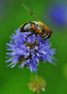 Bees love corn flowers and I do too! #Bienen www.apidaecandles.de