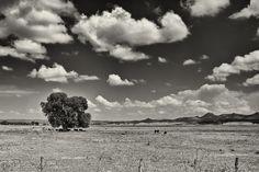 Arizona Black Walnut Tree by Jeff Morley