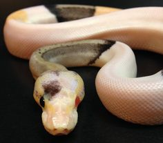 """Skittles"" is a one in a million Ball Python. Silver Streak Albino Piebald Paradox (Super Pastel X Black Pastel X Piebald X Albino - Paradox). http://shop.reptilecollective.com/collections/all?page=1"