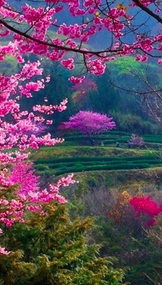 Beautiful cherry blossoms in a field of green • original source not found …