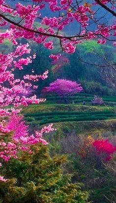 Hermosas flores de cerezo en un campo verde
