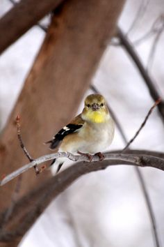 'American Goldfinch'
