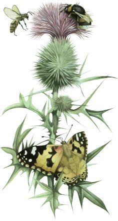 Afb Marjolein, Tubes Marjolein, Marjolein Bastin Art, Thistle Painting, Thistle Drawing, Thistle Art, Thistle Botanical Illustration, Botanical Art, ...