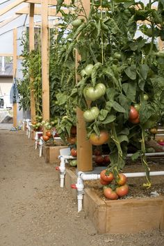 21 Best Hydroponic Tomatoes images in 2013 | Hydroponic