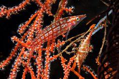 Longnose hawkfish & cowrie on gorgonian | Flickr - Photo Sharing!