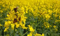 Species that feed most on the bright yellow flowers of the crop treated with controversial neonicotinoids have fallen by as much as 30%