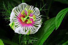 passiflora by kousik, via Flickr