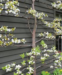 Voorbeeld van lage leifruit bomen tegen een schutting. In jullie geval links. De schutting antraciet beitsen geeft overigens een heel mooi effect. Je verwacht het niet maar het laat je tuin ruimer lijken...
