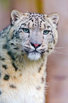 One day, it would be amazing to see one of these rare, gorgeous animals in person. My favorite big cat <3