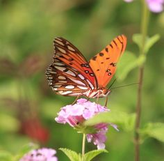 Gulf Frittilary Butterfly on Lantana--the underwing markings shine like mother-of-pearl.  Hill Country Mysteries: The Cycle of Life.