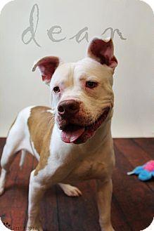 Rockwall, TX - American Pit Bull Terrier. Meet Dean, a dog for adoption. http://www.adoptapet.com/pet/11548469-rockwall-texas-american-pit-bull-terrier