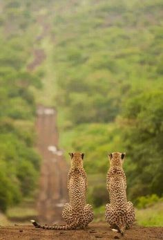 Two cheetahs survey the long road ahead.  Photographer and Location: Unknown.