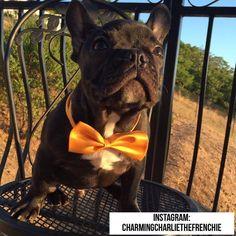 Happy Easter everyone!! 49 weeks #charmingcharliethefrenchie #charmingcharliethepuppy #frenchbulldog #frenchbulldogpuppy #frenchbulldoglove #frenchiesofinstagram #frenchbulldogsofinstagram #frenchie #adorable #puppyeyes #cutedog #handsomedog #cutepuppy #