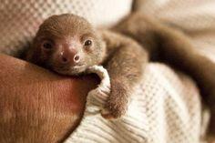 Baby sloth.. enough said <3