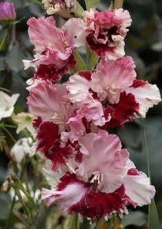 Zielono Zrceni: Garden Gladiolus X Hybridus - Cultivars, Gardening 37