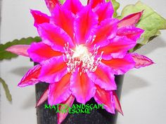 Epiphyllum hybrid 'Awesome' matures from cutting - blooms 1-2 years xl blooms