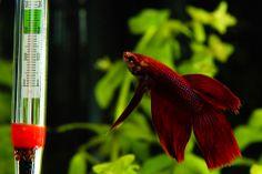 Como cuidar do aquário do seu peixe-beta (ou beteira)? Confira 3 dicas rápidas e essenciais