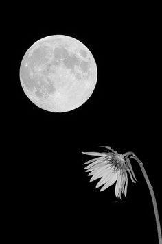 Moon and Flower Take Two Luna Moon, Moon Photos, Shutter, Shades Of Grey, Sunflowers, Mother Nature, Moonlight, Serenity, Nature Photography