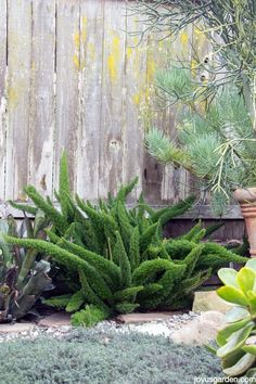 An Easy Care and Fun Fern With An Artsy Feel: Myers or Foxtail Fern.  They're great in the garden or in containers. Find out how to care for & grow them. There's also a video to guide you.