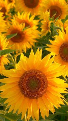 Flashes of Brilliance Beautiful Flowers Garden, Happy Flowers, All Flowers, Pretty Flowers, Yellow Flowers, Beautiful Gardens, Sunflower Garden, Sunflower Art, Sunflower Fields