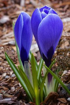 Spring Crocus by Dennis Rainville, via 500px
