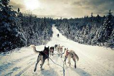 Mushing a dog sled.