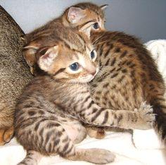ocicat Ocicat, American Shorthair, Catus, Abyssinian, Cats And Kittens, Big Cats, Cat Breeds, Cat Love, Puppy Love