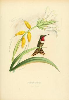 Magenta-throated woodstar, Costa Rica and Panama. Histoire naturelle des oiseaux-mouches, ou, Colibris constituant la famille des trochilidés, Martial Étienn Mulsant, 1874.