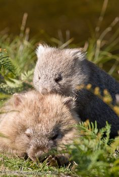 Cute Funny Animals, Cute Baby Animals, Animals And Pets, Cute Australian Animals, Australian Birds, Cute Wombat, Australia Animals, Little Critter, Cute Animal Pictures