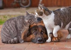 Cute cats and German Shepherd best friends