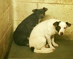 RESCUED❤️✨RESCUE BACKED OUT - Nueces County, TX: 01/03/17 BONDED TERRIERS - one is POSSIBLY PREGNANT---and no one came. Now they face death Tuesday morning. They are bonded he is most likely the father. We need calls to save them NOW! FMI: Kennel 6  South Texas, near corpus christi CALL: 410-608-2195 or 979-595-8357