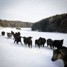 Angus Rinder am Bio Hof Mayer Angus Rind, Animals, Farmers, Animais, Animales, Animaux, Animal