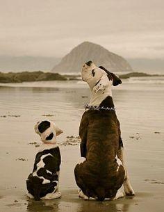 American bulldogs